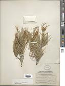 view Pinus monophylla Torr. & Frém. digital asset number 1