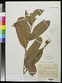view Trichoscypha arborea (A. Chev.) A. Chev. digital asset number 1