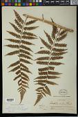 view Alsophila aquilina var. maxonii Rosenst. digital asset number 1