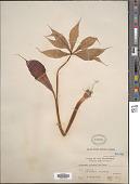 view Arisaema polyphyllum (Blanco) Merr. digital asset number 1