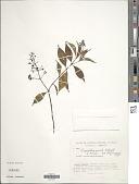 view Psychotria amita Standl. digital asset number 1