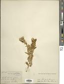 view Helichrysum sp. digital asset number 1