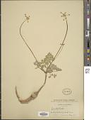 view Drudeophytum kelloggii (A. Gray) J.M. Coult. & Rose digital asset number 1