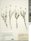 view Rutidosis murchisonii F. Muell. digital asset number 1