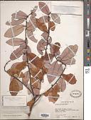 view Pseudowintera colorata (Raoul) Dandy digital asset number 1
