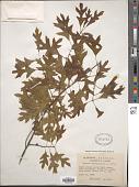 view Quercus georgiana M.A. Curtis digital asset number 1