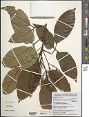 view Allophylus africanus f. mawambaensis (Gilg) Hauman digital asset number 1