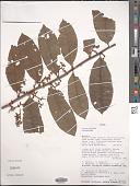 view Pycnanthus sp. digital asset number 1