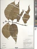 view Palicourea kaieteurensis (Wernham) C.M. Taylor digital asset number 1