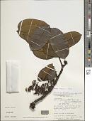 view Swartzia tepuiensis (Schery) R.S. Cowan digital asset number 1