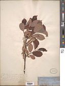 view Salix hastata L. digital asset number 1