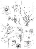 view Murdannia nudiflora (L.) Brenan digital asset number 1