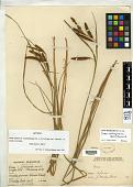 view Carex cernua var. austro-africana Kük. in Engl. digital asset number 1