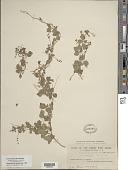 view Rhynchosia minima (L.) DC. var. minima digital asset number 1