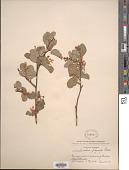 view Amelanchier prunifolia Greene digital asset number 1
