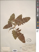 view Sorbus hybrida L. digital asset number 1