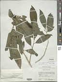view Solanum aphyodendron S. Knapp digital asset number 1