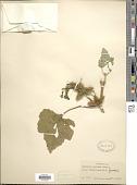 view Xanthium strumarium var. canadense (Mill.) Torr. & A. Gray digital asset number 1