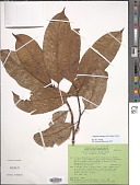 view Magnolia tsiampacca var. tsiampacca digital asset number 1