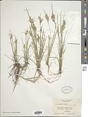 view Carex garberi Fernald digital asset number 1