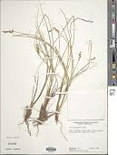 view Carex bonplandii Kunth digital asset number 1