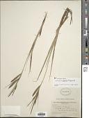 view Carex x saxenii Raymond digital asset number 1