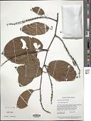 view Coccoloba parimensis Benth. digital asset number 1