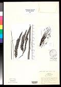 view Carex mackenziana Weath. digital asset number 1