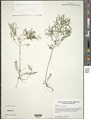 view Lechea pulchella Raf. digital asset number 1