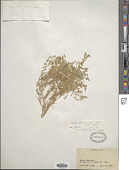 view Spergularia bocconi Foucaud ex Merino digital asset number 1