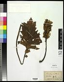 view Acanthus mollis L. digital asset number 1