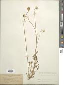 view Anthemis pauciloba Boiss. digital asset number 1