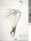 view Carex stricta Lam. digital asset number 1