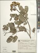 view Senna acuruensis (Benth.) H.S. Irwin & Barneby digital asset number 1