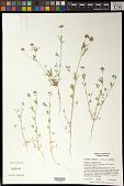 view Trifolium bifidum A. Gray var. bifidum digital asset number 1