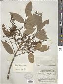 view Aglaia edulis (Roxb.) Wall. digital asset number 1