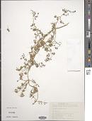 view Clematis aethusifolia Turcz. digital asset number 1