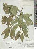 view Solanum nigricans M. Martens & Galeotti digital asset number 1