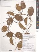 view Dioscorea smilacifolia De Wild. & T. Durand digital asset number 1