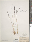 view Agrostis subpatens Hitchc. digital asset number 1