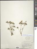 view Geranium caespitosum E. James digital asset number 1