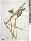 view Cyperus latifolius Poir. digital asset number 1