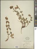 view Hypericum formosum Kunth digital asset number 1