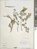 view Crotalaria verrucosa L. digital asset number 1