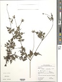 view Bidens cynapiifolia Kunth digital asset number 1