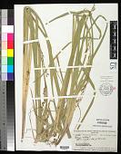 view Carex aff. dietrichiae Boeckeler digital asset number 1