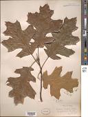 view Quercus velutina Lam. digital asset number 1