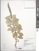 view Achyranthes splendens var. rotundata Hillebr. digital asset number 1