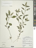 view Lepidagathis alopecuroidea (Vahl) Aiton ex Griseb. digital asset number 1