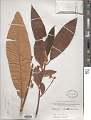 view Saurauia napaulensis DC. digital asset number 1